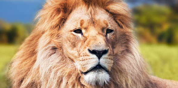 A majestic lion on the African savannah where he belongs