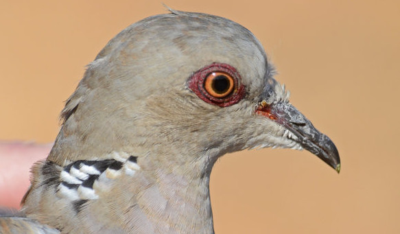 Turtle Dove used as a decoy and awaiting release back into the wild Malta